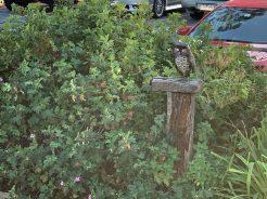 Owls keeping watch over the Hurstbridge line